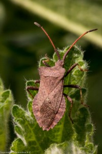 Zuringwants (Coreus marginatus)