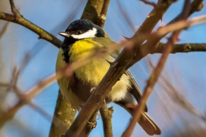 Koolmeesje (Parus major)